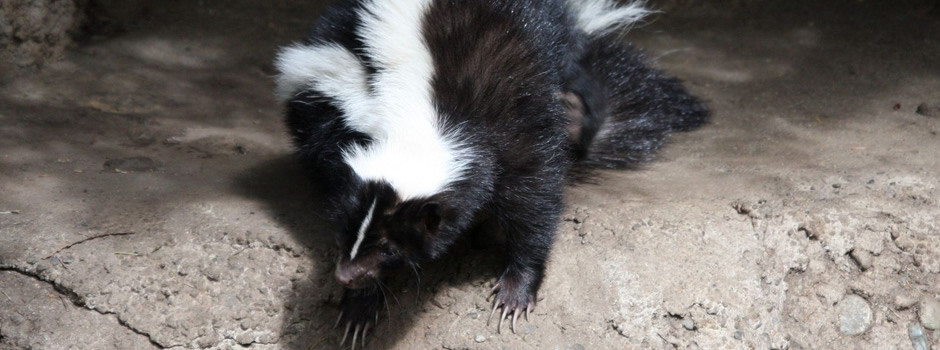 South Carolina skunk control