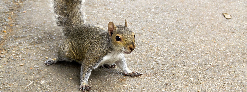 South Carolina squirrel control